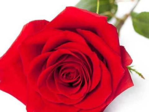 月季和玫瑰长相相似,连英文名也都一样,那么如何区分她们