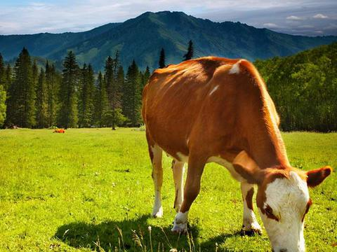 牛不爱吃草食欲不振怎么办?怎样使牛食欲增强?从这3方面着手