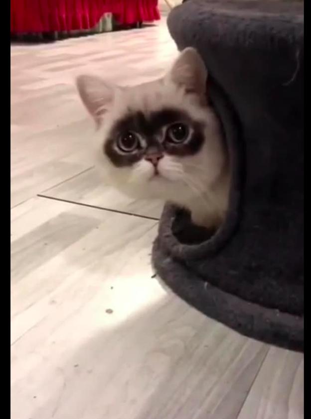 猫咪眼睛周围的毛发是黑色的,还以为是黑眼圈,熬了多少天的夜啊