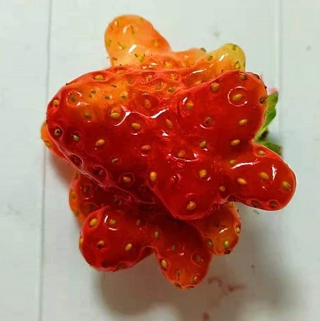双鸭山风土人情——畸形的草莓到底能吃吗?