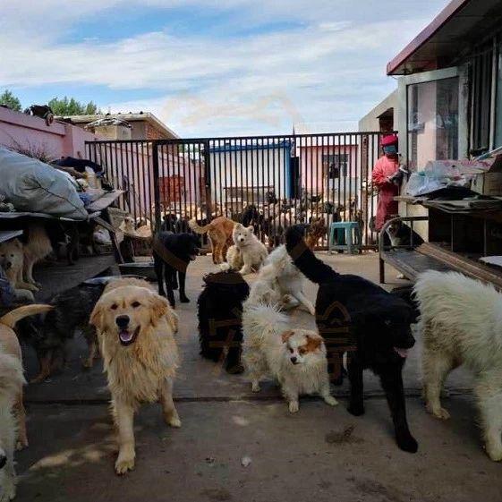 13年间救了上万只流浪狗,她兑现了诺言:绝不会放弃它们。