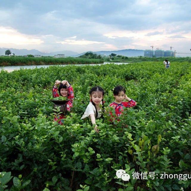 【品牌推荐】寻香世界茉莉花茶发源地——全球重要农业文化遗产福州茉莉花与茶文化掠影