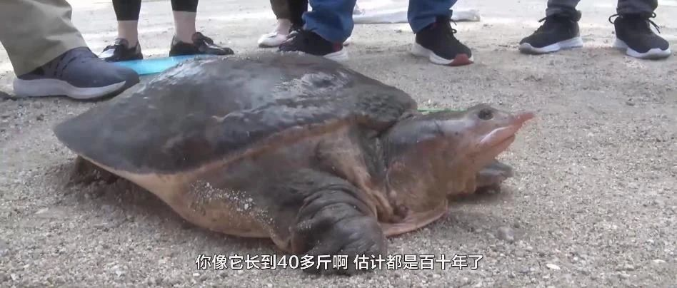 一只百年老鳖王在河南被抓,长0.75米,重23公斤,为何夜晚上岸?