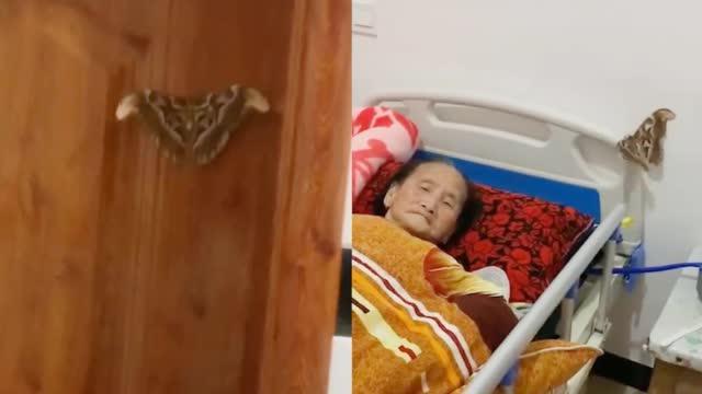 """爷爷去世七天后 奶奶屋内飞进一只巨大""""蝴蝶"""" 网友拍下感人一幕"""