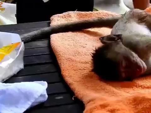 奄奄一息的小猴子宝宝,得到最好的照顾
