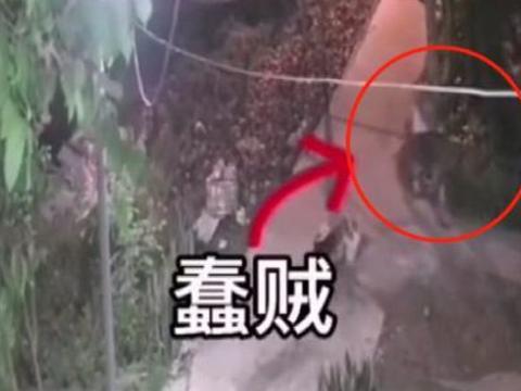 浙江一偷鸡贼用公鸡吸引母鸡,得手后公鸡逃走,亏了还是赚了?