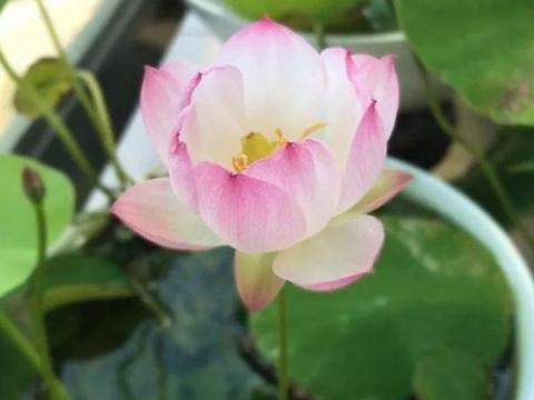 家里养此款花,花期长花量大,枝头花苞满