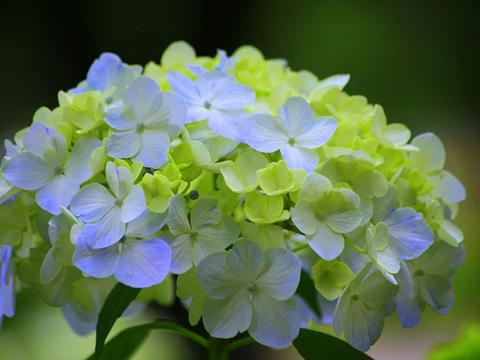 绣球花盛花期来了,日常养护5大要点,你掌握了么?