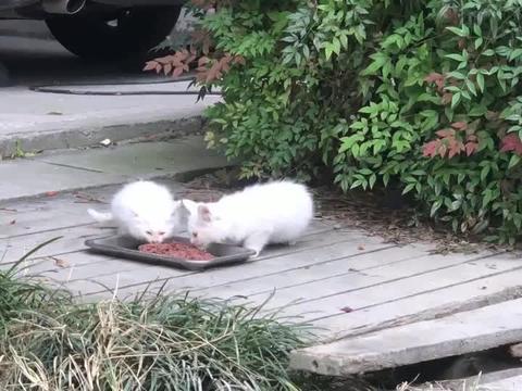 橘猫妈生出超萌长毛小白猫,这颜值逆天了!
