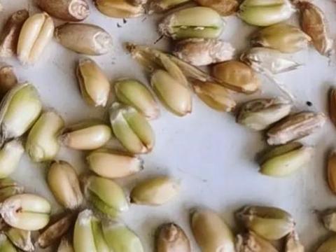 夏粮收购:早熟小麦开始收割上市,质量欠佳却价格不低