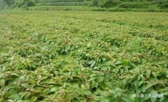 农村的一种植物,如今一斤30成稀罕货,可以降低血脂,有治病效果
