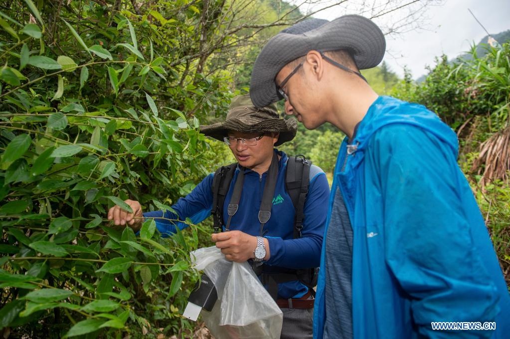 Professor Sun Junwei (L) from China Jiliang University collects plant specimens with assistant Liu Yukun in Longquan City of east China's Zhejiang Province, May 11, 2021. Located in the mountainous area in southwestern Zhejiang Province, Longquan City enjoys a favorable ecological environment and is known for its abundant biodiversity resources in east China. At present, the Nanjing Institute of Environmental Sciences under the Ministry of Ecology and Environment is organizing experts to continuously investigate the biodiversity in Longquan City. It will set up an electronic catalogue of specimens and a database for the species here, so as to lay a foundation for comprehensively improving biodiversity protection. (Xinhua/Jiang Han)