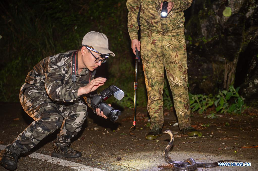 A staff member from Nanjing Institute of Environmental Sciences takes photos of a cobra in Longquan City of east China's Zhejiang Province, May 11, 2021. Located in the mountainous area in southwestern Zhejiang Province, Longquan City enjoys a favorable ecological environment and is known for its abundant biodiversity resources in east China. At present, the Nanjing Institute of Environmental Sciences under the Ministry of Ecology and Environment is organizing experts to continuously investigate the biodiversity in Longquan City. It will set up an electronic catalogue of specimens and a database for the species here, so as to lay a foundation for comprehensively improving biodiversity protection. (Xinhua/Jiang Han)