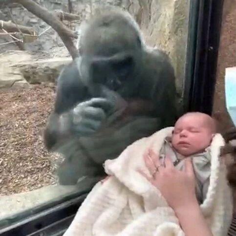 妈妈给猩猩看自己宝宝,猩猩像是试图牵住宝宝的小手,画面太暖了