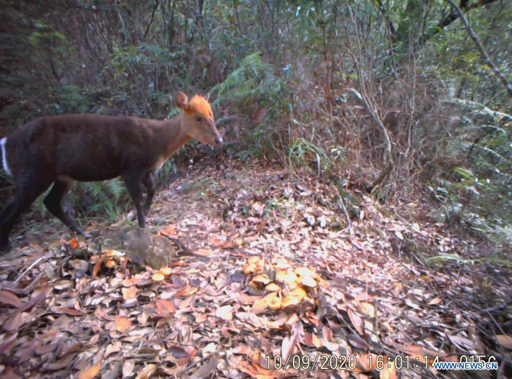 File photo taken by an infrared camera shows a black muntjac, rare in China, in Longquan City of east China's Zhejiang Province. Located in the mountainous area in southwestern Zhejiang Province, Longquan City enjoys a favorable ecological environment and is known for its abundant biodiversity resources in east China. At present, the Nanjing Institute of Environmental Sciences under the Ministry of Ecology and Environment is organizing experts to continuously investigate the biodiversity in Longquan City. It will set up an electronic catalogue of specimens and a database for the species here, so as to lay a foundation for comprehensively improving biodiversity protection. (Nanjing Institute of Environmental Sciences of the Ministry of Ecology and Environment/Handout via Xinhua)