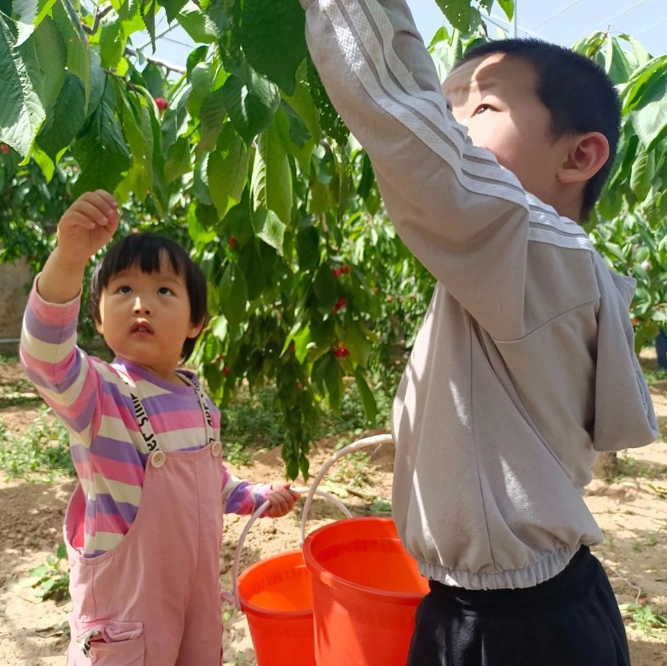 石家庄这个樱桃采摘园火了,进园随便品尝,还能烧烤……