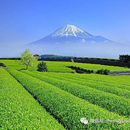 【新锐论坛】当绿茶种植与草地管理相遇——全球重要农业文化遗产日本静冈传统茶-草复合系统