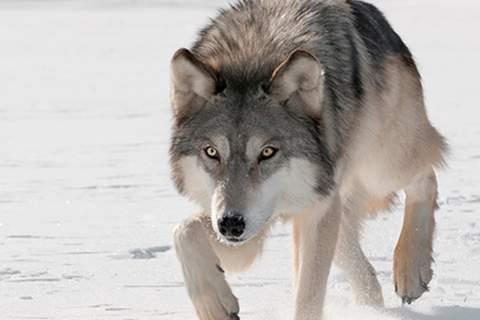 先是东北虎,然后是金钱豹,如今又是狼,为何野生猛兽频现?