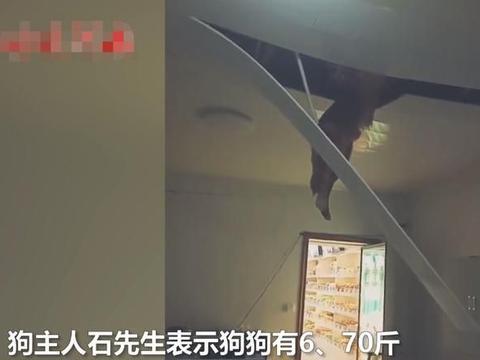 贵州一70斤金毛追老鼠把邻居家吊顶压塌,网友:狗拿耗子多管闲事