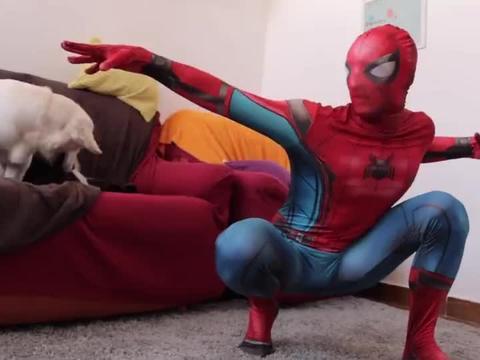 主人装扮成蜘蛛侠逗金毛,金毛压根不上当,金毛:别演了