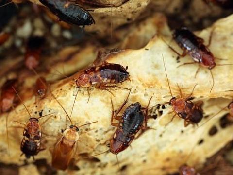 深圳的蟑螂为什么这么聪明?打不死灭不完的小强感觉成精了一样
