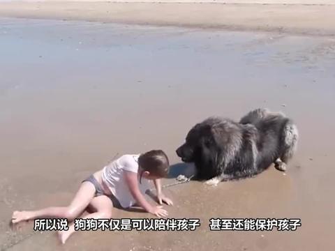 狗狗发现小主人被海浪拍倒,直接叼起主人往岸上拖,真是太忠诚了