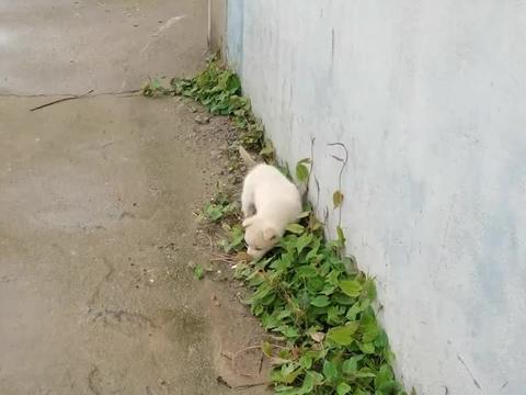 这奶狗有点像北极熊,黑眼黑鼻头,一身白毛太可爱了