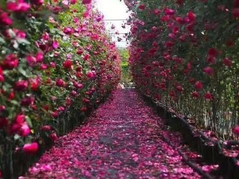 郑州时尚玫瑰花展,还剩最后三天