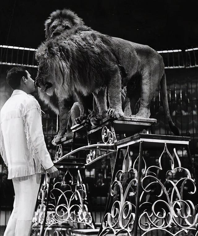 人类痴迷于驯化野兽,致使巴狮和亚洲猎豹灭绝,灰狼后代到处都是