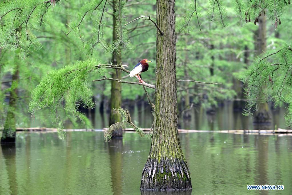 A bird rests at the Chishan Lake National Wetland Park in Lai'an County, east China's Anhui Province, May 12, 2021. After years of ecological restoration, the Chishan Lake National Wetland Park has become a paradise of birds and fowls. (Xinhua/Liu Junxi)