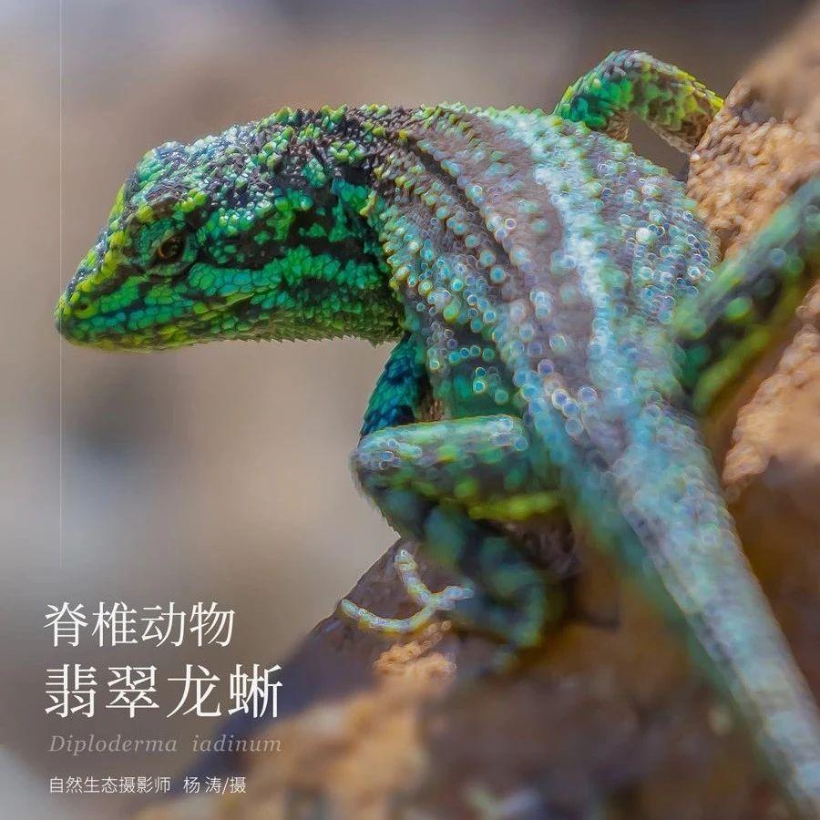 【云南生物多样性数字化百科图谱】脊椎动物•翡翠龙蜥:出道即巅峰,我想继续红下去