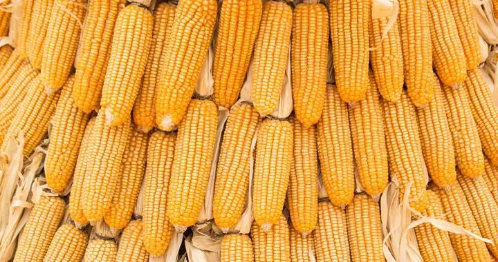 大同黄玉米价格普遍回落