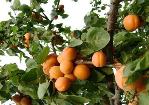 家里院子别光养月季花,种上3棵果树,添子添福,还能随手摘果子