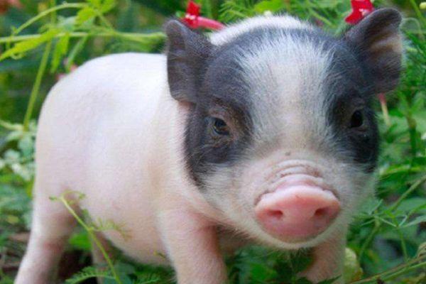 十二生肖中的生肖猪为什么排最后一位?原来背后隐藏着这样的故事