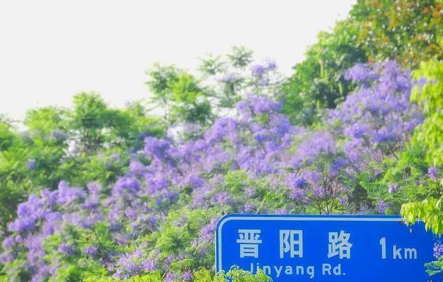 蓝花楹盛开了,五月蓉城陷入紫色海洋中,显得梦幻又浪漫
