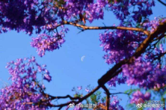 云南弥勒月亮之下蓝楹花开