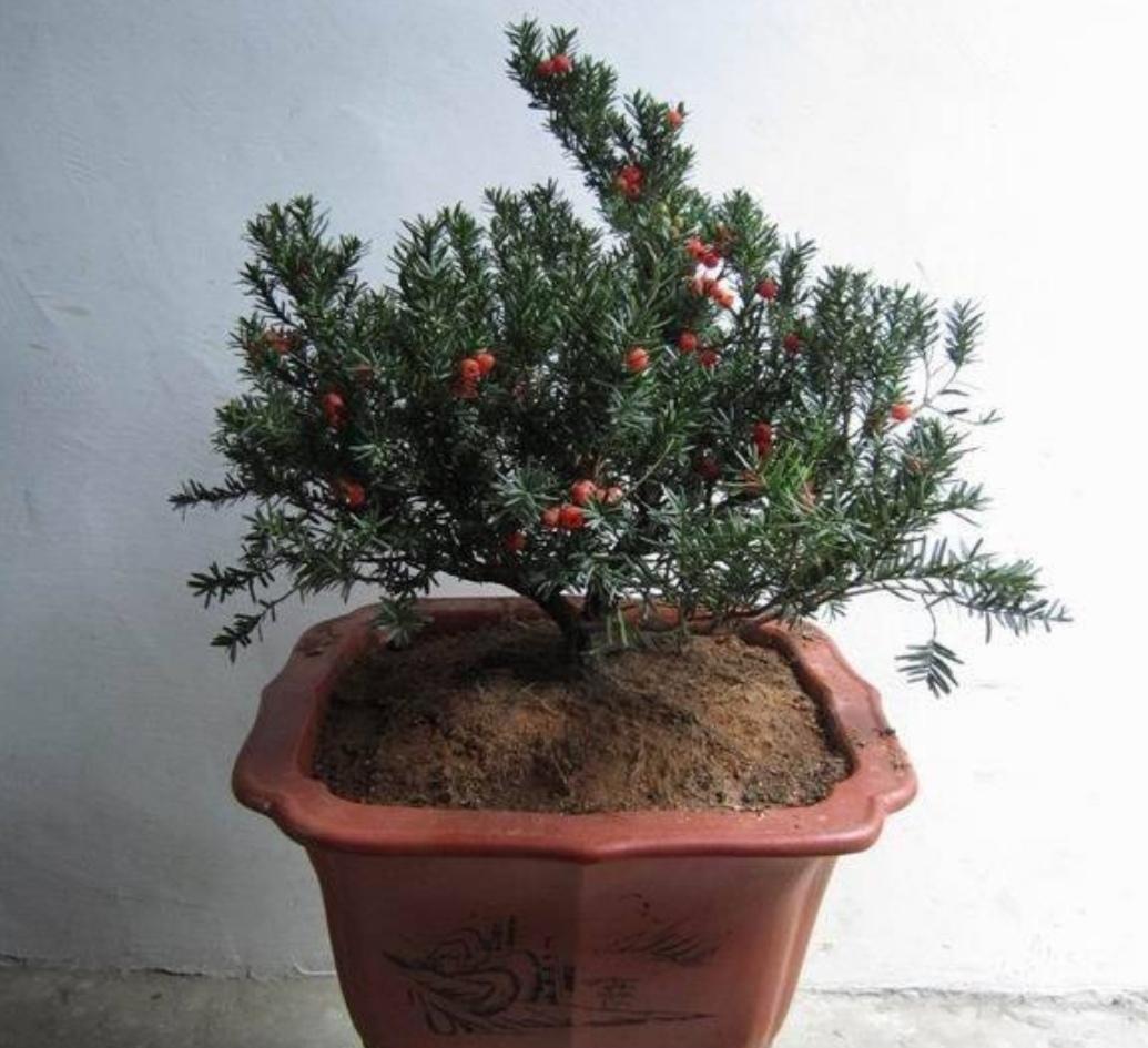 养了多年的红豆杉,一直不结红豆,原来还要满足这3个条件!