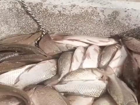 大哥一小时的鱼货,纯野生的,太厉害了吧