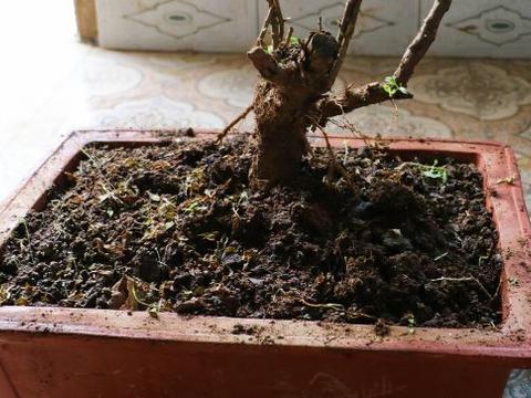 枸杞倒栽法:根部向上栽植法,容易成活,可以形成奇形异状