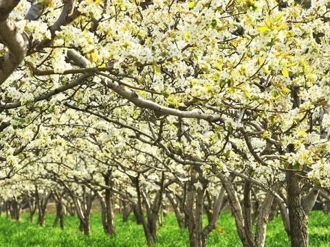 """种果树为何有""""不怕行里密,就怕密了行""""一说?栽植密度由啥决定"""
