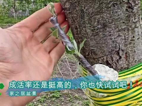 钻孔嫁接术,在树干上钻孔嫁接,方法简单,成活率高,你也试试吧