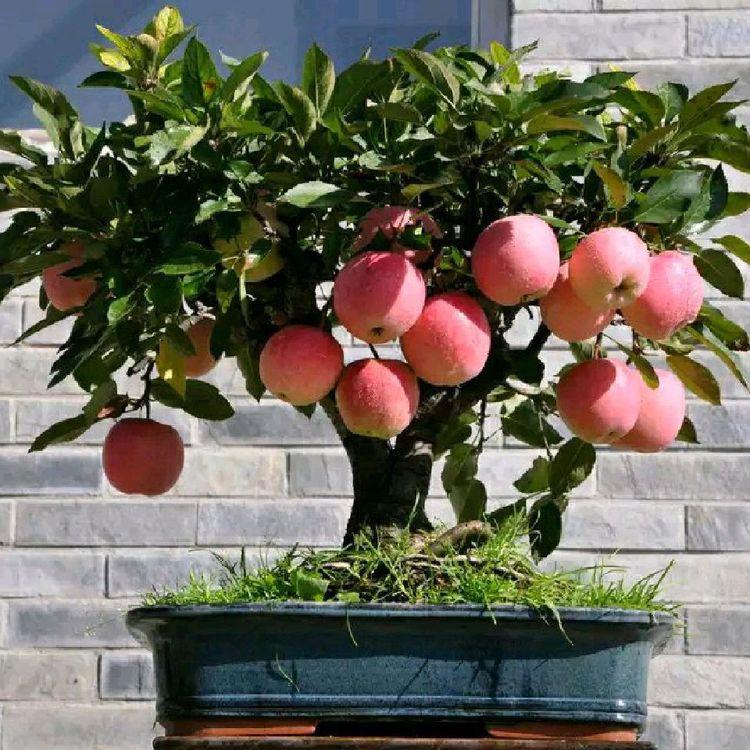 阳台不要再种花了,这两种果树赶紧安排上吧,真甜