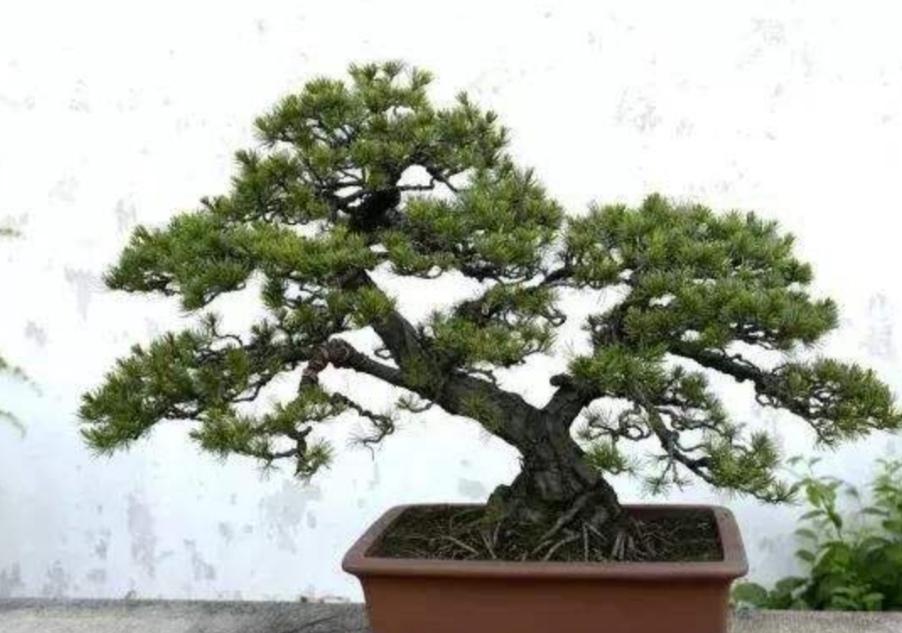 树桩盆景,上盆做好这几个事项,才能保证成活率,更快发芽!