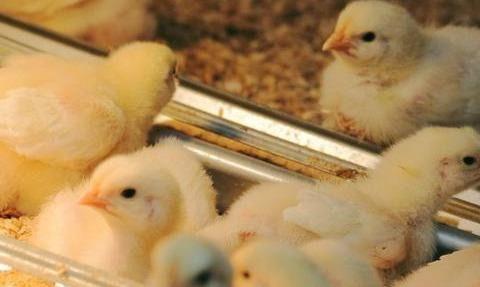 养鸡离不开维生素,喂得好,鸡长的又快又大成活率高