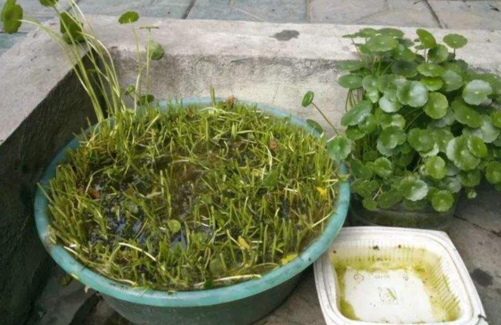 铜钱草叶子小,经常浇2种水,长得旺盛,浓绿光亮!