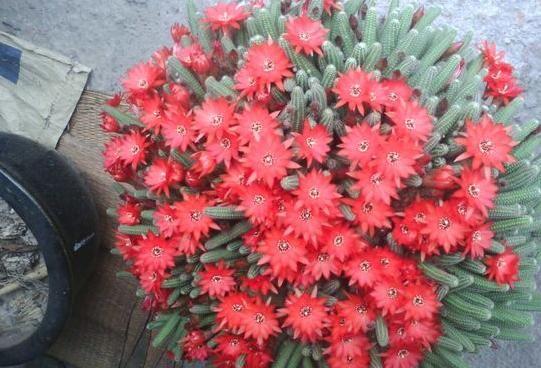 初学者养花就选这种冒出一堆小红花的花,美极了!