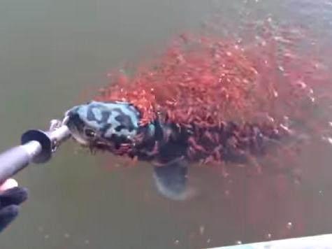 小伙钓到一条大鱼,身上粘附神秘红色物体,真相让人感动不已!