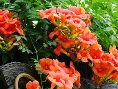 初学者养护花草,就养比牵牛花更漂亮的这种花