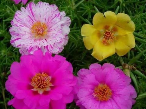 初学者养花,要养得越多越旺,养几盆赏心悦目的夏花值得一试