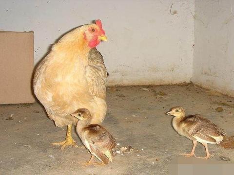 农村小伙市集买了野鸡蛋孵化,两个月后傻了